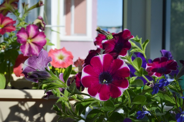 Small garden on the balcony with colorful petunia flowers in summer