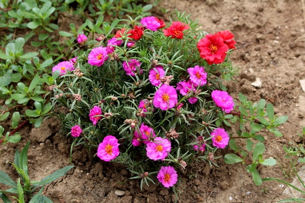 Rock rose (Portulaca grandiflora) with pink and red flowers