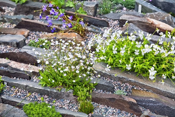 A crevice rock garden with alpine plants