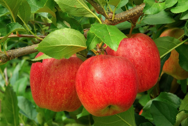 Red apples ready to harvest on a tree