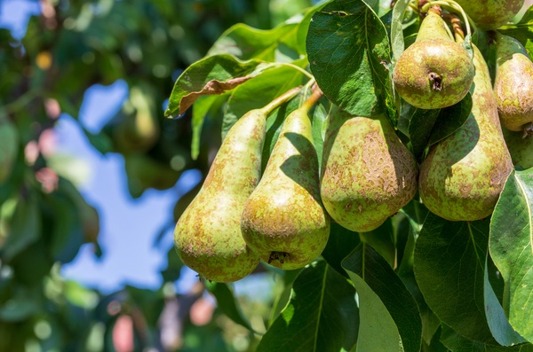 Conference pears in a tree