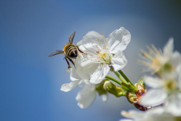Bee insect collects pollen of blooming flowers, fruit tree blossoms, springtime workers in the nature, outdoors