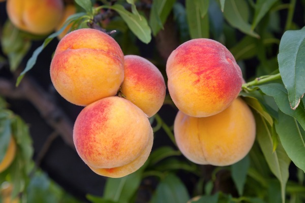 Sweet peach fruits growing from a tree branch