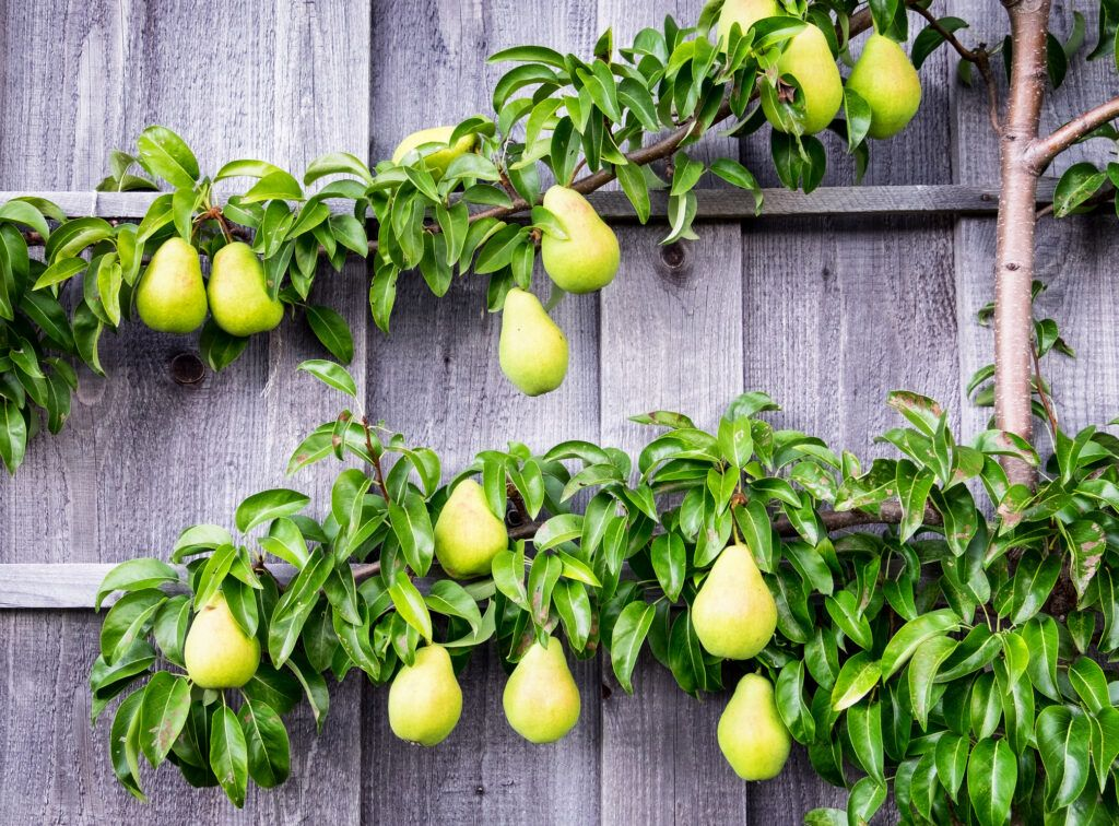Espalier pear tree growing along a fence